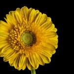 fiore Gerbera — Foto Stock