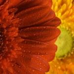 fleur de Gerbera — Photo #37849993