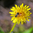 A honeybee at the flowering dandelion — Stock Photo