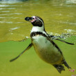 Foto de Stock  : Penguin in water basin