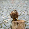Falco tinnunculus (Postolkobecna) Bird of prey — Stock Photo #36824083