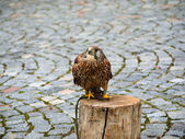 Falco tinnunculus (Postolka obecna) Bird of prey — Stock Photo