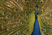 Peacock close-up — Stock Photo