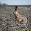 Rabbit  hare. — Foto Stock