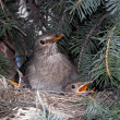 Stock Photo: Blackbird nest, launchies.