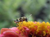 Escarabajo de longhorn. — Foto de Stock