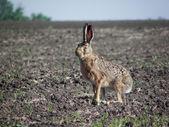 Rabbit hare. — Stock Photo
