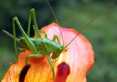 Grasshopper. — Stock Photo