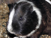 Hamster. — Stock Photo