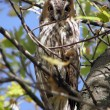 Stock Photo: Long-eared owl.