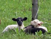 Lambs. — Fotografia Stock