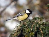 Tit bird — Stock Photo
