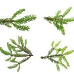 Pine tree branch. — Stock Photo