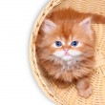 Kitten in straw basket on a white background — Stock Photo