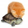Red kitten with sea turtle on a white background — Stock Photo