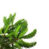 Rama de árbol de pino. — Foto de Stock