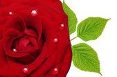 один цветок розы — Стоковое фото