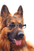 Long-haired german shepherd in black eyeglasses. — Stock Photo