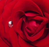 单玫瑰花朵 — 图库照片