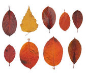 Autumn leaves isolated on white — Stock Photo