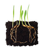 Green grass sprouts with roots. — Stock Photo