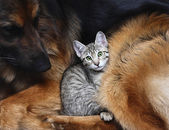 Large dog and a cat. — Stock Photo