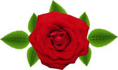 Vector red rose isolated on white background — Stock Vector