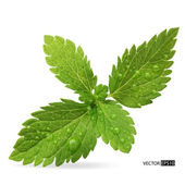 Green mint leaves on a white background.Vector illustration. — Stock Vector