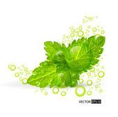 Green mint leaves — Stock Vector