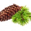 Pine tree branch with cone — Stock Photo