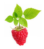 Raspberry branch isolated — Stockfoto