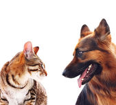 Long-haired german shepherd dog and a cat. — Stock Photo