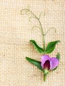 Sweet pea flowers — Stock Photo