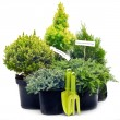 Conifer sapling trees in pots — Stock Photo #33096261