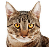 Adult cat. — Stock Photo