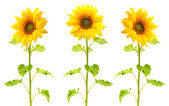 Sunflower plant isolated — Stock Photo