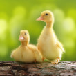 Cute little duckling — Stock Photo #50688609