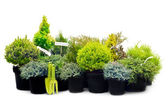 Conifer sapling trees in pots — Stock Photo