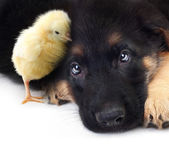 Cute little chicken and puppy german shepherd dog — Stock Photo