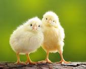 Mignon petit poulet — Photo