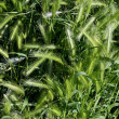 Stock Photo: Field of immature green wheat ears