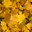 Yellow maple leaves — Stock Photo