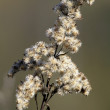 Inflorescence dry bush — Stock Photo
