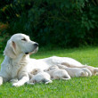 Dog mom, labrador mom, dog mother, Golden Retriever, mom with little puppies on a grass — Stock Photo #28727515