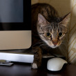 A small cat in a home office - peeping behind a computer screen , domestic cat in natural background, small cat playing at home, young cat,playing cat, interior with cat,blur detail,sharp,focus to cat — Stock Photo #28727519