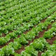 Field of green fresh lettuce growing at a farm, lettuce salad, fragment, season vegetable. Field of fresh and tasty salad, lettuce plantation, lettuce plantation in Malta, fresh vegetable field,farm — Stock Photo #28727523