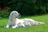 Maman, maman labrador, mère de chien, golden retriever, maman avec petits chiots sur une herbe de chien — Photo