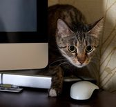 A small cat in a home office - peeping behind a computer screen , domestic cat in natural background, small cat playing at home, young cat,playing cat, interior with cat,blur detail,sharp,focus to cat — Stock Photo