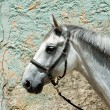 Portrait of White Horse in wall background, One horse close up, horse in natural background, domestic animal, strong animal, stud farm, riding horse isolated in wall background — Stock Photo