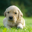 One small gold labrador retriever on a green grass background,small nice puppy dog, white labrador retriever puppy looking away from the camera on natural green blur background,focus to the eyes,close — Stock Photo #28972427